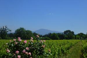 Les vignes du Gite avec vue sur le Mont Ventoux